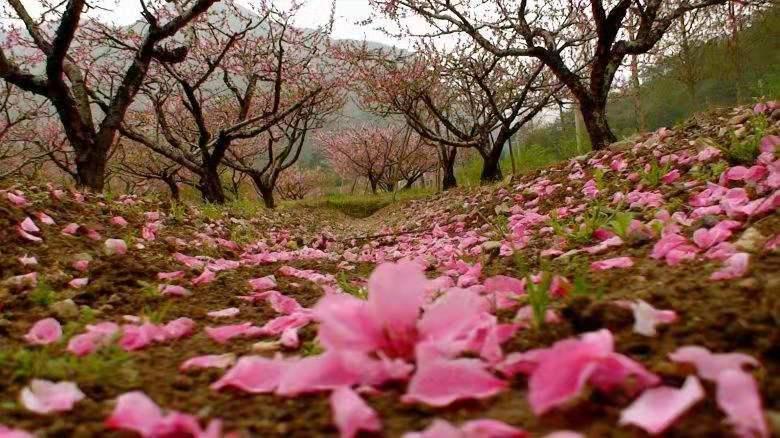(6)强烈推荐【赏花旅拍】3月17日万亩桃花林|古镇旅拍-户外活动图-驼铃网