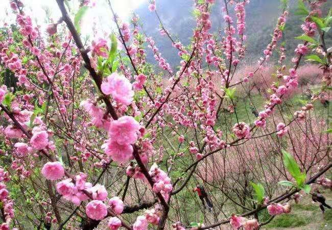 (7)强烈推荐【赏花旅拍】3月17日万亩桃花林|古镇旅拍-户外活动图-驼铃网