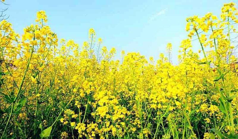 双泉镇赏花季