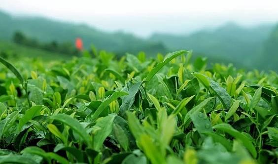 【西山采茶】采茶制茶品茶、户外野炊、青团子、亲子游戏