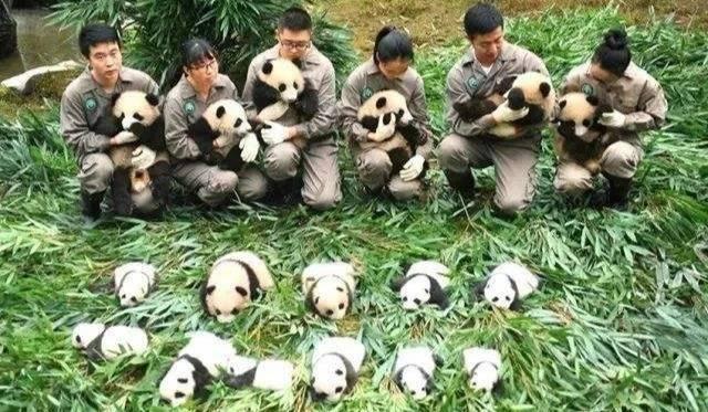 熊猫亲子营   what?不仅能近距离接触圆滚滚,还给发小奖状?
